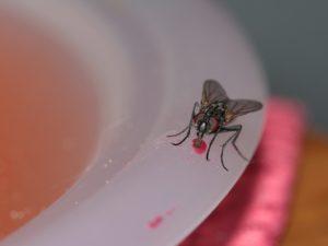 mosca-piatto