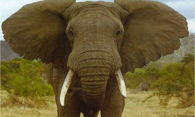 Elefanti, una memoria invidiabile!