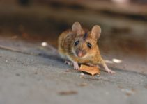 7 house-mouse-5043031_1920